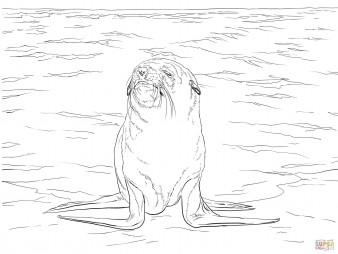 Капский морской котик