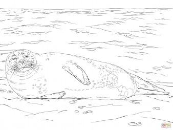 Обыкновенный тюлень на льдине