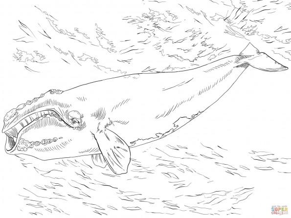 Раскраска Северный гладкий кит, распечатать или скачать из ...