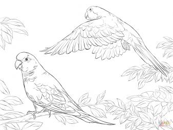 Попугаи-монахи