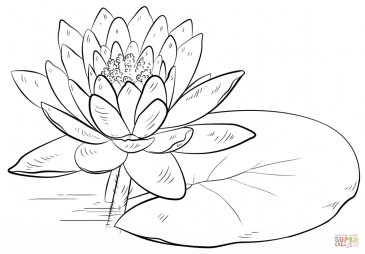 Water Lily and Pad