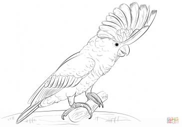 Попугай Белый какаду