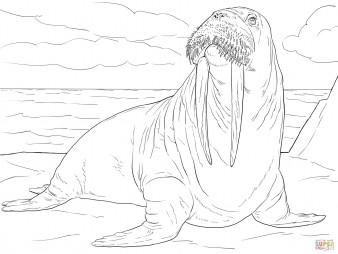 Взрослый самец моржа