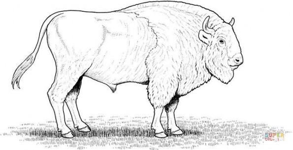 Раскраска Американский бизон, распечатать или скачать из ...
