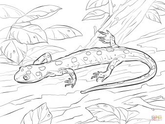 Саламандра жёлтопятнистая