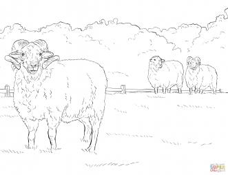 Овца породы Hog Island