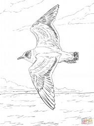 Франклинова чайка