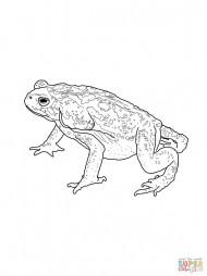 Колорадская жаба