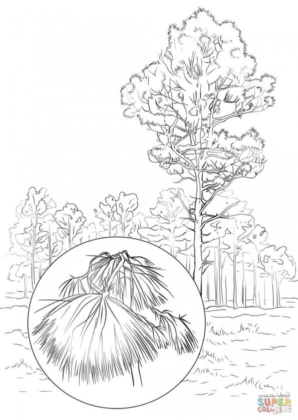раскраска сосна дерево возможно
