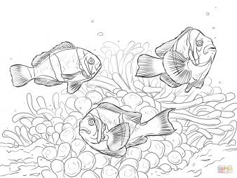 Алларовые клоуны-рыбы