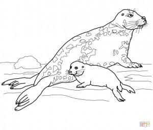 Самка длинномордого тюленя