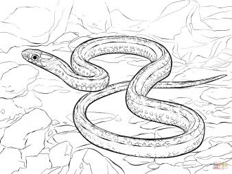 Юго-западная подвязочная змея