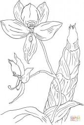 Цикнохес – орхидея-лебедь