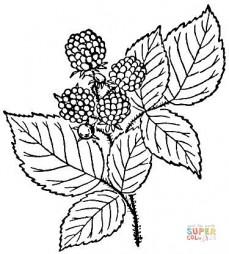 Ягоды и листья малины
