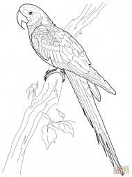 Попугай Гиацинтовая ара