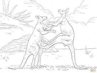 Большие рыжие кенгуру дерутся