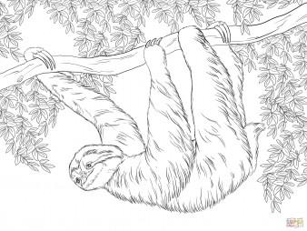 Трёхпалый ленивец висит на дереве